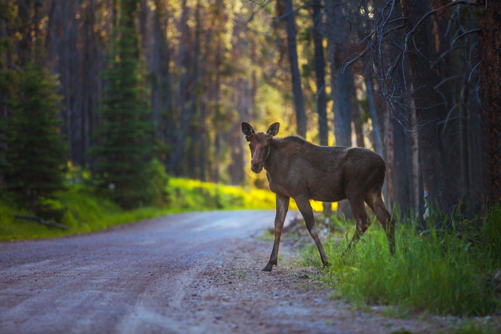 A young moose crosses Rock Creek Road near beautiful Philipsburg, Montana