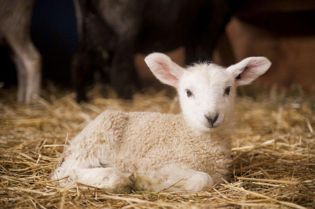 montana-lambs