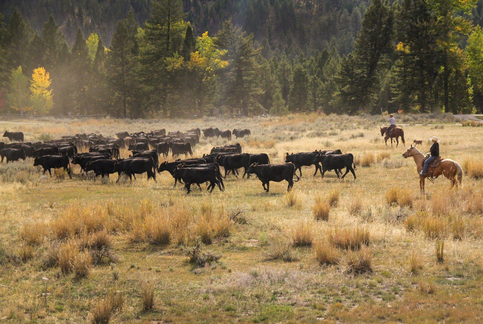 montana-cattle-drive