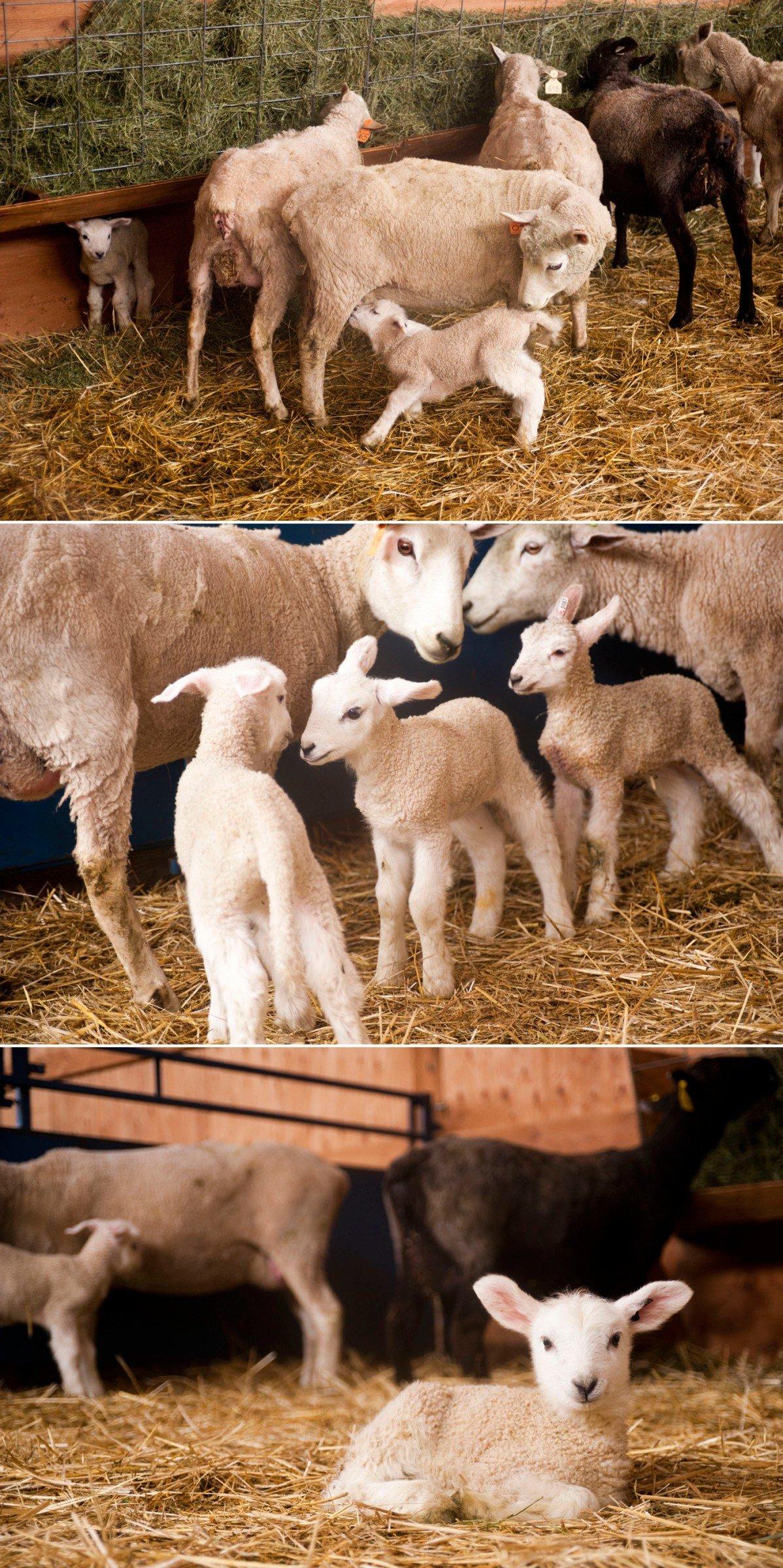 newborn-lambs