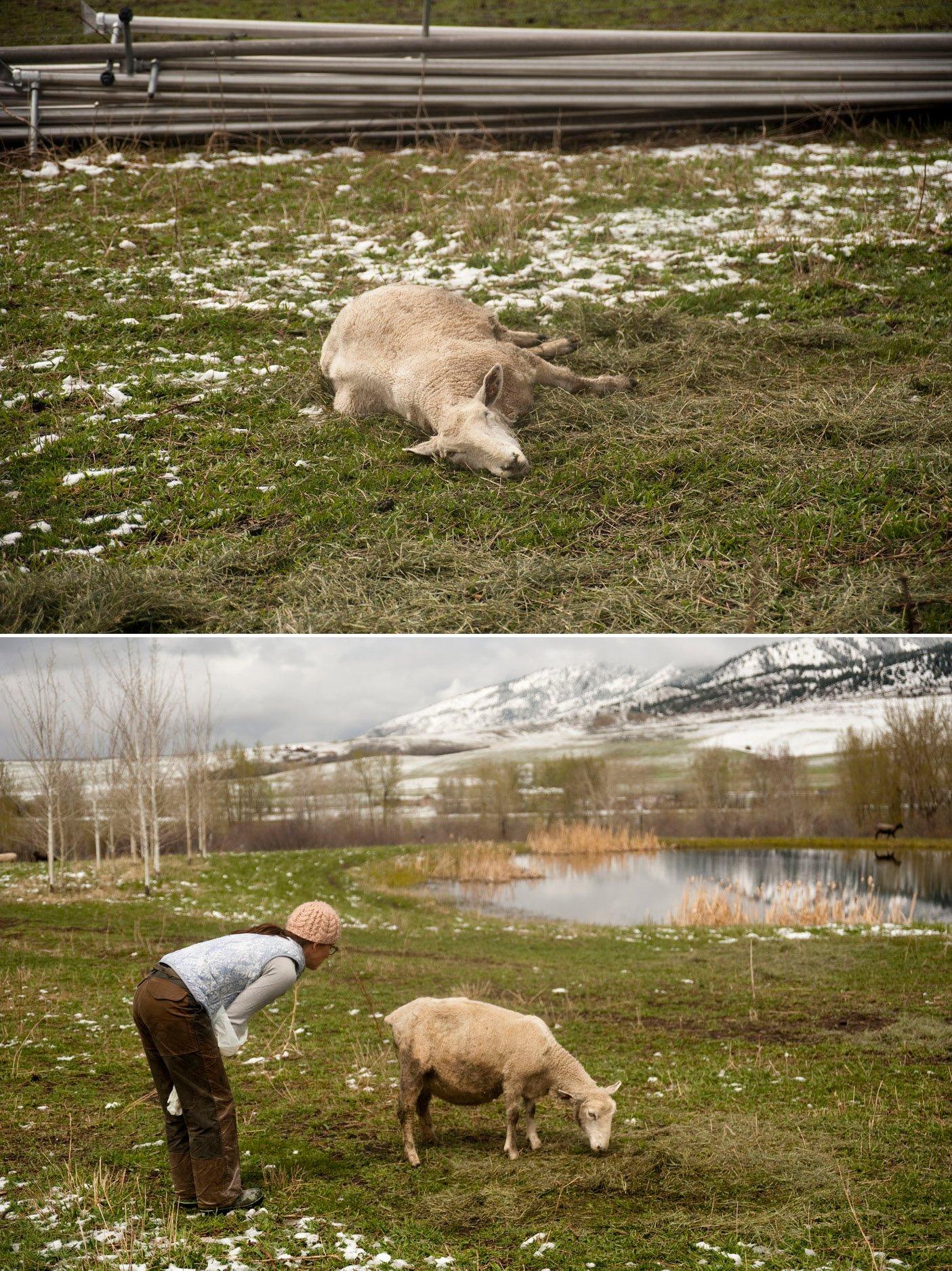 birthing-lambs