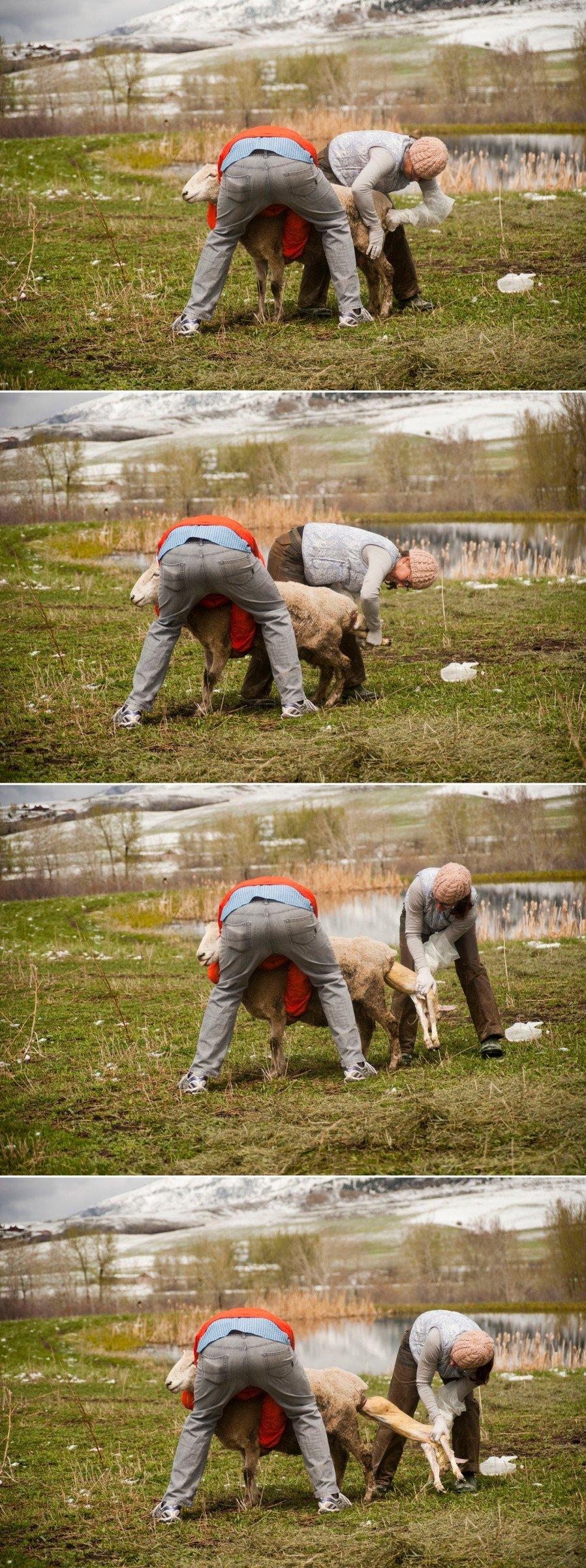 birthing-lambs-montana