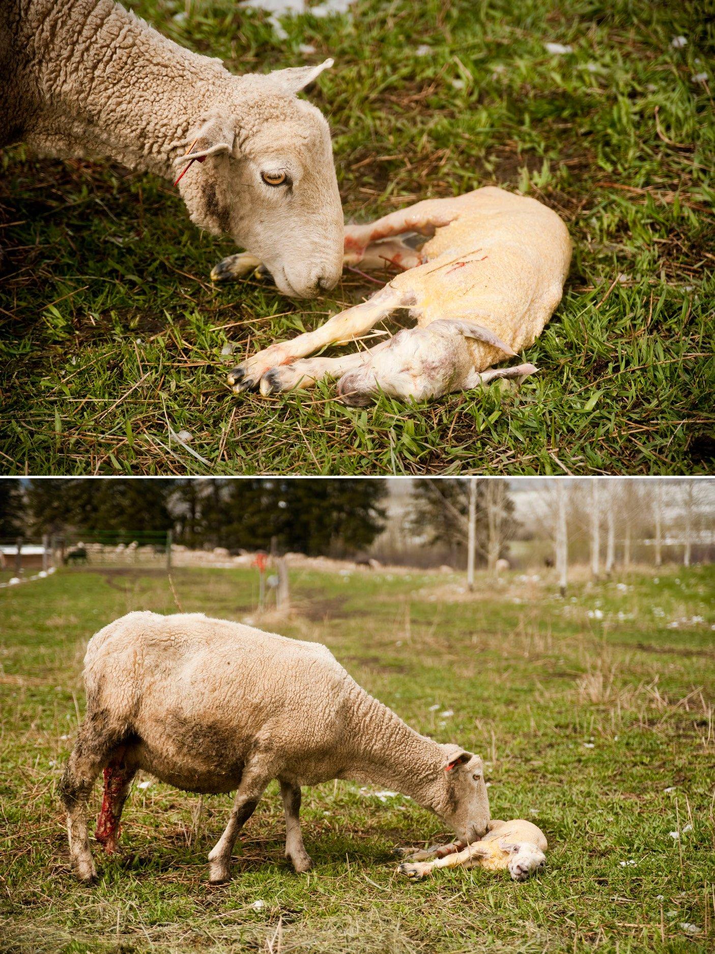 newborn-lamb-with-mom