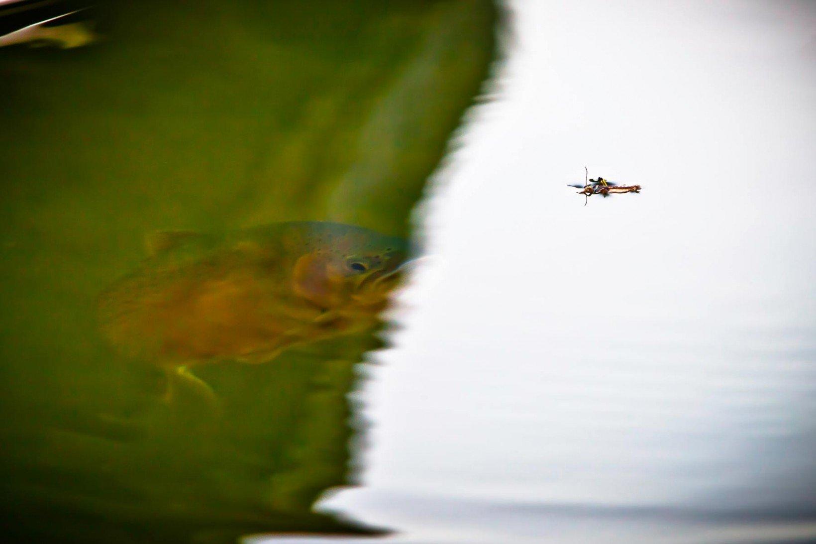 montana-trout