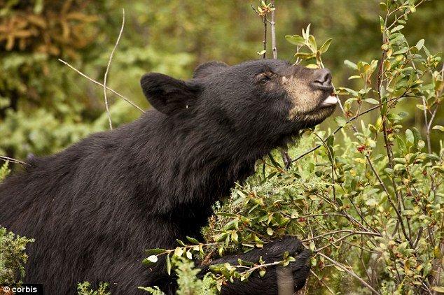 bears-eating-huckleberries