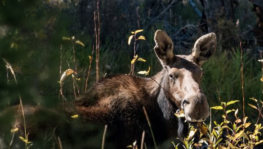 A moose chomps on bushes on Rock Creek