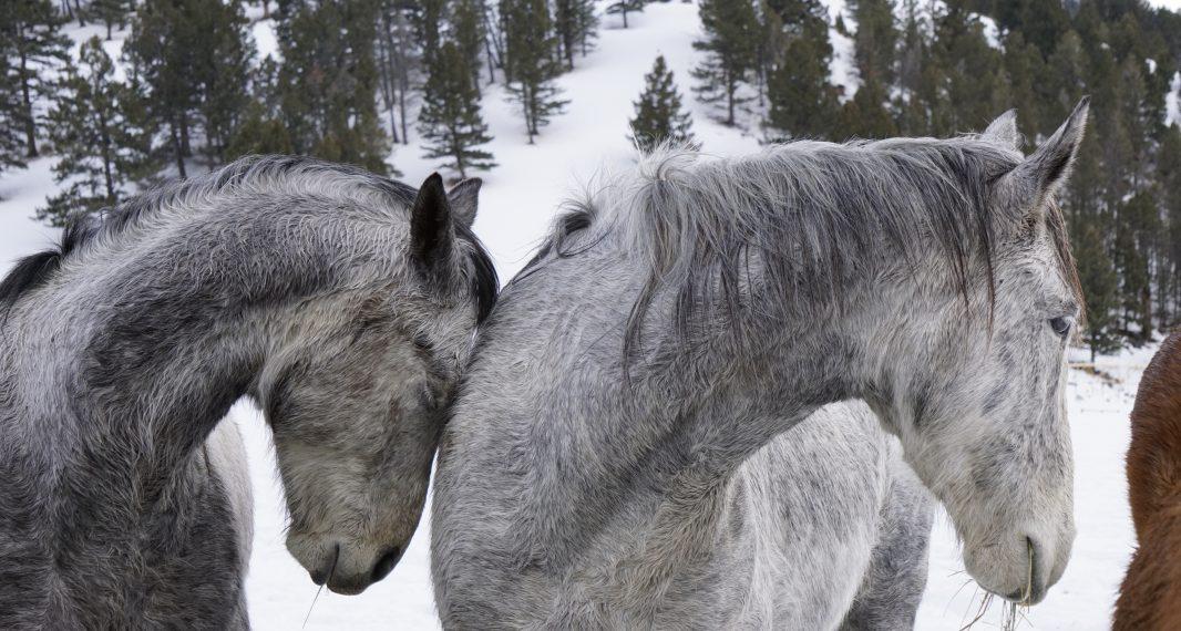 Winter horses Heather